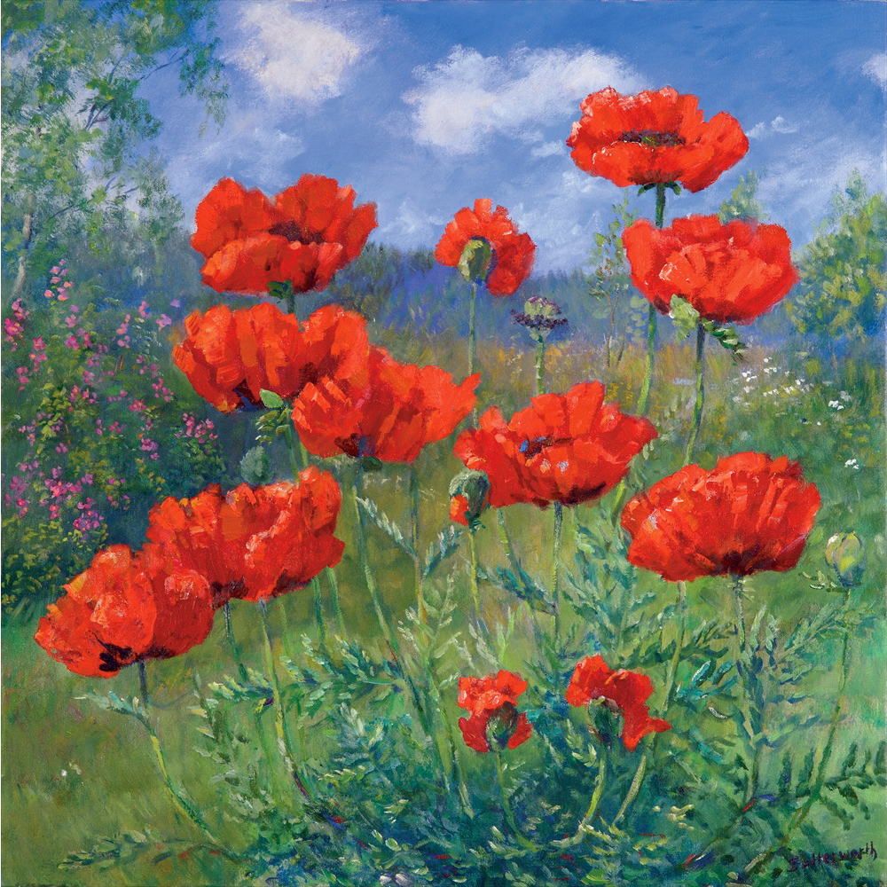 Bright red poppies in summer sunshine in the artists garden in Glenmuick.
